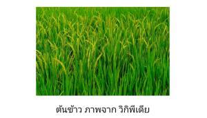 ข้าว : จากธัญพืชธรรมชาติ สู่ข้าว GMO