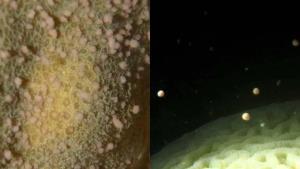 """โซเชียลฯแห่ชมปรากฏการณ์หาดูยาก """"ปะการังปล่อยไข่"""" เกาะช้าง ซึ่งเกิดเพียงปีละครั้ง"""