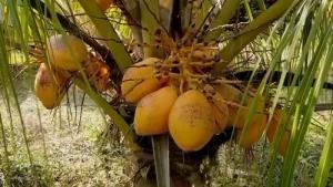 (ชมคลิป) ส่อง 'ต้นมะพร้าวแคระ' ในไหหลำ ออกลูกไว-ให้ผลผลิตสูง