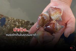 """""""หอยชักตีน"""" กำลังแย่แห่จับกิน-ขาย ทำราคาดี เร่งเพาะขยายพันธุ์"""
