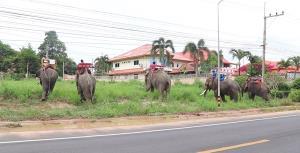 ครอบครัวควาญช้างพ่ายพิษโควิด-19 นำช้าง 5 เชือกเดินเท้าจากพัทยากลับสุรินทร์