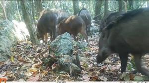 ฝูงหมูป่า โชว์ตัวหน้ากล้องดักถ่าย! สะท้อนความสมบูรณ์ของผืนป่าแก่งกระจาน