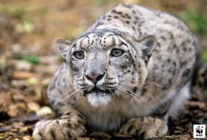 """มองโกเลีย ปลื้ม! สำรวจประชากร """"เสือดาวหิมะ"""" ครั้งแรก พบเกือบพันตัว ตอกย้ำความอุดมสมบูรณ์ของระบบนิเวศภูเขาที่เพิ่มขึ้น"""