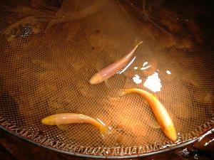 ปลาค้อถ้ำพระวังแดง ปลาไม่มีตา (ภาพ : กรมอุทยานฯ)