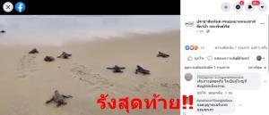 ลงทะเลแล้ว!! ลูกเต่ามะเฟืองรังสุดท้าย 60 ตัว ฟักจากหลุมที่ภูเก็ต  (ชม4คลิป) ติดตามที่เหลือ
