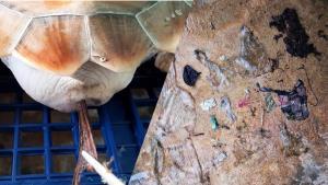 สะเทือนใจ! ทช.เผยภาพเต่าตนุ กินขยะพลาสติกเข้าไปจำนวนมาก สัตวแพทย์เร่งช่วยเหลือ