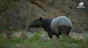 'สมเสร็จ' สัตว์ป่าที่สุ่มเสี่ยงต่อการสูญพันธุ์สูง อยู่ในป่าไทยที่ไหนบ้าง