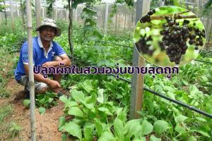 เจ้าของไร่องุ่น 2 เล จ.สตูล ลงมือปลูกผักหลากชนิดในสวนองุ่น ขายสุดถูกสู้พิษโควิด-19