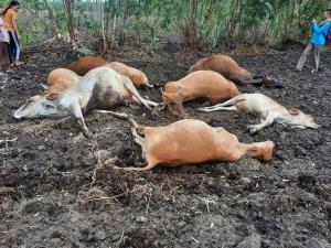 ฟ้าฝ่าเปรี้ยงเดียว! วัวล้มตายเกลื่อนทุ่งทั้งฝูง 11 ตัว เจ้าของเห็นเข่าแทบทรุด