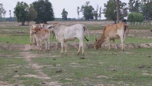 ชาวนามุกดาหารผวา วัวป่วยประหลาด ตุ่มขึ้นเต็มตัว ขาอ่อนแรง