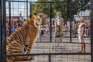 """WWF หนุนรัฐสภาสหรัฐฯ ออกกม.คุ้มครองสวัสดิภาพ """"สัตว์ตระกูลแมวใหญ่"""" ห้ามมิให้ผู้ใดมีสัตว์ตระกูลเสือไว้ในครอบครอง"""