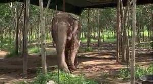 กำลังใจท่วมท้น! ช้างป่าชรา 'พังยายเกตุ' กินได้อาการดีขึ้น [ชมคลิป]