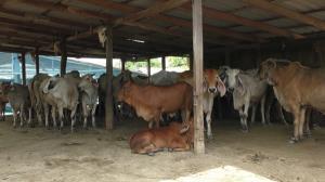 อ่างทองพ่นยาตัดตอนโรคลัมปีสกิน หลังพบวัวป่วย
