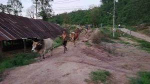 ทพ.เฝ้าสกัดขบวนการนำเข้าวัว-ควายเถื่อน กันโรคลัมปีสกินระบาดเพิ่ม