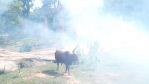 """""""ลัมปีสกิน"""" ระบาดหนักในอีสาน สวนสัตว์ขอนแก่นป้องกันเข้มหวั่นวัววาตูซีติดเชื้อ"""