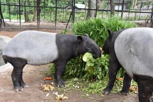 สวนสัตว์เปิดเขาเขียว จัดกิจกรรมฉลองวันเกิดให้ลูกสมเสร็จอายุครบ 1 ปี