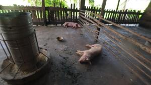 โรควัวไม่ทันหายโรคห่าหมูมาอีกแล้ว หมูที่ร้อยเอ็ดป่วยตายยกฟาร์ม 100 ตัว