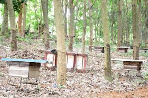 หนุ่มเชียงรายเลี้ยงผึ้งใต้ต้นยางพารา โกยเงินปีละเป็นล้านรอดตัวยุคโควิด-19