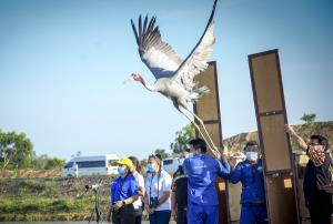 """ปลื้ม! ปล่อย""""นกกระเรียนไทย"""" คืนสู่ธรรมชาติอีก 14 ตัว พบมีชีวิตรอด 133 ตัว หลังสูญพันธุ์ไปจากป่าไทยกว่า 50 ปี"""
