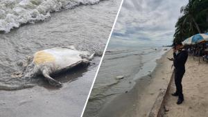 """""""นายกตุ้ย"""" โพสต์เศร้าพบเต่าเกยตื้นตายชายหาดบางแสน วอนประชาชนงดทิ้งขยะลงแหล่งน้ำ"""