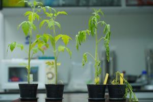 ไบโอเทค สวทช. พัฒนาแบคทีรีโอฟาจ ทำลายเชื้อแบคทีเรียก่อโรคพืชในดิน