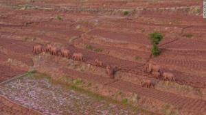 """ติดตาม """"โขลงช้างป่าอพยพ"""" ในจีน นักอนุรักษ์ชี้อาจกำลังหาบ้านหลังใหม่- หนีภัยคุกคาม"""