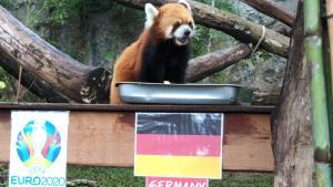 """สวนสัตว์เชียงใหม่สร้างสีสันบอลยูโร 2020 จัด """"แพนด้าแดง"""" ทายผลคู่ """"ฝรั่งเศส-เยอรมนี"""" ชู """"อินทรีเหล็ก"""" คว้าชัย"""