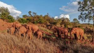 โขลงช้างป่าเอเชียจากสิบสองปันนา อพยพขึ้นเหนือรอนแรมเป็นระยะทางไกล 500 กิโลเมตร จนมาถึงเมืองคุรหมิง เมืองเอกของมณฑลยูนนานเมื่อปลายเดือนพ.ค.  (แฟ้มภาพ ซินหัว)