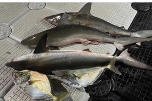 สลด! ยิงฉลามโชว์โพสต์ขึ้นโซเชียลสุดท้ายถูกจับ
