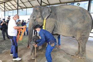 สวนนงนุชพัทยาต้อนรับสมาชิกใหม่ เป็นลูกช้างพลายนพเก้า