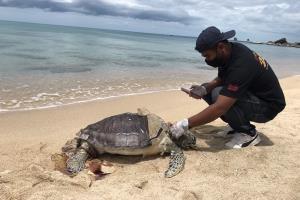 พบซากเต่าตนุถูกคลื่นซัดเกยหาดเกาะสมุย พบรอยช้ำที่ขาและลำตัว ผ่าพิสูจน์กระเพาะอาหารปกติ