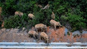 ตามลุ้นอีก! โขลงช้างป่าจีนอพยพ จะเบนเข็มเดินทางกลับลงใต้หรือไม่