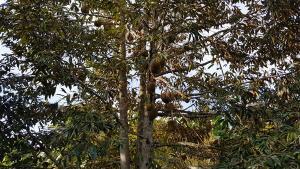 ป้องกันทุเรียน! อช.แก่งกระจานจัดเจ้าหน้าที่เฝ้าระวังช้างป่า หลังทุเรียนออกผลผลิต