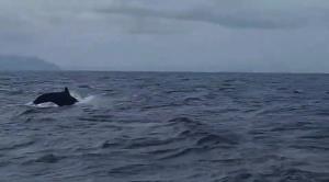 ตื่นตา! ฝูงวาฬเพชฌฆาตดำโชว์ตัว ระหว่างเกาะไข่และเกาะอาดัง