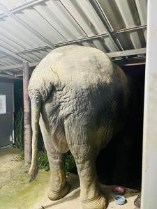 ช้างป่า บุญมี- บุญช่วย โชว์งัดงากันก่อนบุกบ้านขโมยกินอาหารแมวหมดถุง