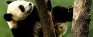 ทำไม! แพนด้า พ้นวิกฤตสูญพันธุ์ WWF ย้ำเป็นแบบอย่างของพลังอนุรักษ์ที่ยั่งยืน