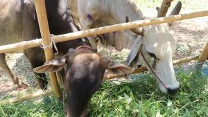 """เลยประกาศพื้นที่ภัยพิบัติโรคระบาดสัตว์ทั้ง14อำเภอ  หลังวัวควายป่วย """"ลัมปีสกิน"""" ล้มตายจำนวนมาก"""