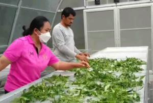 ลุกขึ้นสู้! จิตอาสากลุ่มเกษตรกรรุ่นใหม่สุรินทร์ ร่วมกันผลิตฟ้าทะลายโจรแคปซูลส่งช่วยผู้ป่วยโควิด