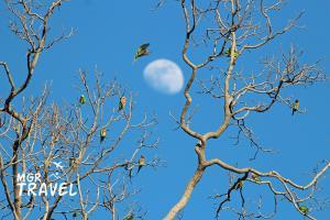 นกแก้วโมงเกาะอยู่บนยอดต้นยางนา