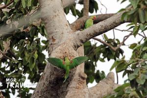 """""""นกแก้วโมง"""" หรือ """"นกแก้วโม่ง"""" เป็นนกแก้วขนาดใหญ่ที่สุดในเมืองไทย"""