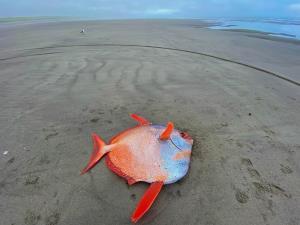 หาดูยาก! ชาวบ้านตื่นเต้นปลาสีสันตัวใหญ่จากใต้ทะเลลึกเกยตื้นชายฝั่งสหรัฐฯ