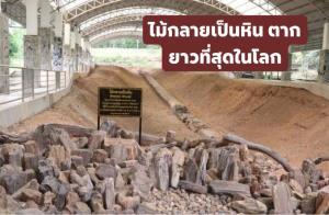 ไม้กลายเป็นหิน ตาก เตรียมสร้างสถิติโลกใหม่ยาวที่สุดในโลกของกินเนสบุ๊ก (ภาพ : กรมทรัพยากรธรณี)