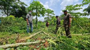 ช้ำ! ช้างป่าแก่งกระจานบุกสวนมะละกอเสียหายนับ 100 ต้น ขณะที่พลายบุญมี บุกบ้านป้ากล้วยทอดอีกรอบ