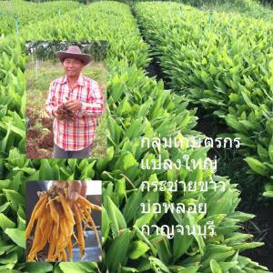กระชายขาวเกษตรแปลงใหญ่กว่า 1,000 ไร่ กาญจนบุรีทำรายได้หลักร้อยล้านบาทในสถานการณ์โควิด-19