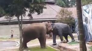 """""""วันเดี่ยวเดือด"""" ชมคลิปวีรกรรมสุดทึ่ง! พลายงาเดี่ยว ช้างป่าแห่งเขาใหญ่"""