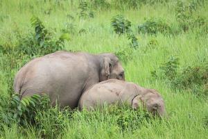 ตามไปดู! ช้างลงกินโป่งทุ่งกวาง เขาใหญ่ ในบรรยากาศยามเย็นวันหยุด