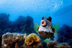 """Sweet lips are for kissing!"" (ริมฝีปากแสนหวานเพื่อการจุมพิต)  :  ภาพปลาปักเป้ากล่อง  :  โดย ฟิลิปป์ สตาฮร์ (Philipp Stahr) ชาวมานน์ไฮม์ เยอรมนี  :  กดชัตเตอร์ที่เกาะกือราเซา เกาะทางตอนใต้ในทะเลแคริบเบียนของราชอาณาจักรเนเธอร์แลนด์ - - - - ""โดยปกติแล้ว ใครจะไปถ่ายภาพปลาปักเป้ากล่องได้สำเร็จนั้น ยากครับ แม้พวกปลาไม่เดือดร้อนอะไรกับการที่นักดำน้ำจะผ่านไปใกล้ๆ แต่ถ้าคุณแสดงความสนใจพวกเขาล่ะก้อ ปลาเหล่านี้จะหันหลังใส่คุณเสมอ  ผมจึงต้องพยายามว่ายน้ำเข้าไปแบบประคองตัวให้สูงเหนือปลาตัวนี้ประมาณ 0.5 เมตร พร้อมกับทำเป็นไม่สนใจใดๆ ทั้งสิ้น  แต่ในเวลาเดียวกัน ผมมีกล้องอยู่ในมือและตั้งแขนดิ่งลงไปใต้หน้าอกให้หน้ากล้องจ่อพื้น แล้วเมื่อจังหวะที่ใช่เปิดตัวขึ้นมา ผมบิดข้อมือตั้งฉากขึ้น 90 องศา หน้ากล้องจ่อไปข้างหน้า แล้วเล็งและกดชัตเตอร์โดยหวังว่าจะได้ภาพปักเป้ากล่องอยู่ในโฟกัสที่ต้องการ  แต่ผมไม่ได้คาดหวังเลยว่าจะได้ภาพริมฝีปากแสนสวยของเธอในระยะใกล้ขนาดนี้!"""
