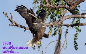 """Majestic and Graceful Bald Eagle?"" (อินทรีหัวขาวผู้เกรียงไกรและสง่างาม ว้าย..ชนเปรี้ยงเบยยย?)  :  ภาพนกอินทรีหัวขาว  :  โดย เดวิด เอปพลี จากสหรัฐอเมริกา  :  กดชัตเตอร์ที่ฟลอริดาตะวันตกเฉียงใต้ - - - - ""อินทรีหัวขาวจะใช้รังเดิมนานเป็นหลายปี หรือกระทั่งหลายทศวรรษ โดยคอยเติมวัสดุใหม่เข้าไปซ่อมเสริมตั้งแต่ต้นๆ และตลอดฤดูทำรัง  ปกตินั้น อินทรีหัวขาวทั้งปวงมีทักษะเลอเลิศในการบินโฉบลงไปฉวยกิ่งไม้ที่หมายตาออกจากต้น แต่เจ้าตัวนี้บินพลาดและเสียฟอร์มน่าขัน ซึ่งอาจจะเป็นเพราะเหนื่อยหนักจากที่ง่วนสร้างรังใหม่มาตลอดเช้า  แต่แม้จะสะดุดคะมำกลางอากาศ หน้ากระแทกก้านต้นไม้ซึ่งคงจะเจ็บไม่ใช่น้อย นางกอบกู้สถานการณ์ง่ายๆ แค่ขยับปีกประคองตัวนิดหน่อย แล้วขึ้นไปเกาะพักอาการสักครู่ ก่อนจะโผผินบินไปหาอีกกิ่งไม้เพิ่ม"" ช่างภาพเดวิดรายงานอุบัติเหตุกลางเวหาอย่างละเอียด"