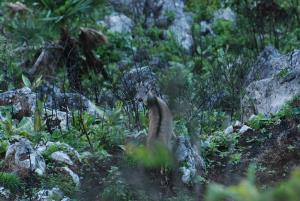 กวางผา ดอยเขียงดาว (ภาพ : จาก กรมอุทยานแห่งชาติ สัตว์ป่า และพันธุ์พืช)