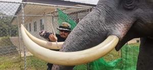 """""""พลายนิ่ง"""" คัมแบ็กแล้ว! หลังถูก """"พลายเดียว"""" ช้างป่าเขาใหญ่ท้าชนจนพังเสียหาย"""
